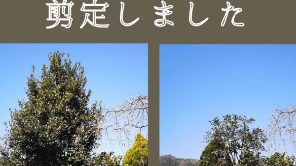 月桂樹剪定